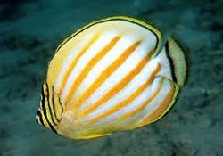 Butterfly fish - ornate