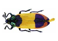 Jewel Beetle [Castiarina shelleybarkerim]