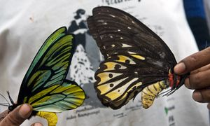 Queen Alexandra's birdwing butterflies