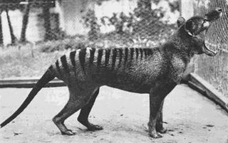 Last known thylacine named Benjamin