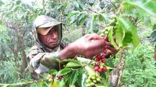 Coffee picking, PNG
