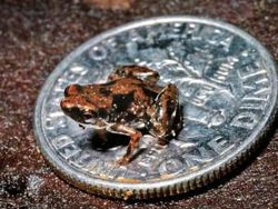 Frog sits on a US dime near the Amau River