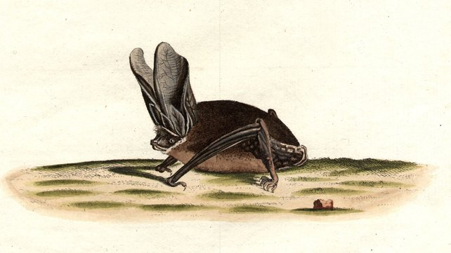 Big-eared bat depicted in the 1800s