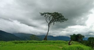 Lonely tree at Kokoda station (Gary Juffa)