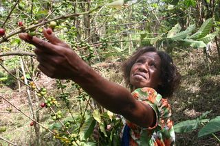 Woman-Picking-Coffee-at-Aipos-Village-in-Jiwaka