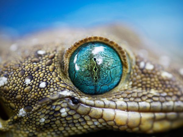 Smiths green eyed gecko (National Geographic)