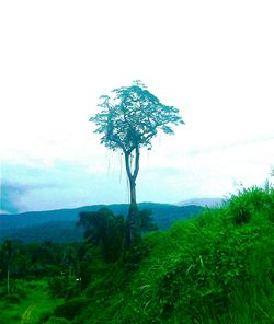 Juffa - Lone tree at Kokoda