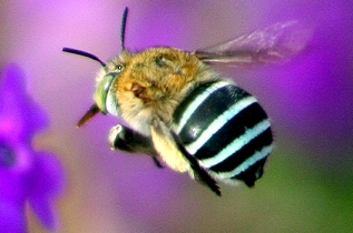 Blue-banded_bee