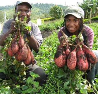 PNG scientist Dorcas Homare (right) and an assistant with improved sweet potato