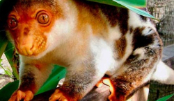 Black-spotted-cuscus
