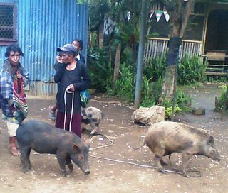 Pigs are an important asset in Melanesian society