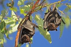 Madang flying foxes