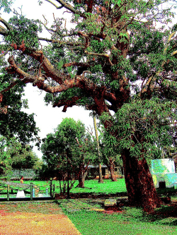 Old mango tree