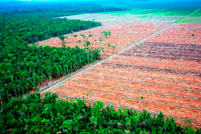 Rainforest cleared for oil palm