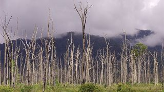 Dead trees from 1998 El Nino in PNG (Michael Duncalfe)