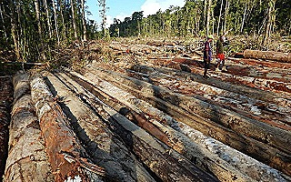 Bewani_SABL_log_depot_in_destroyed_forest (Global Witness)