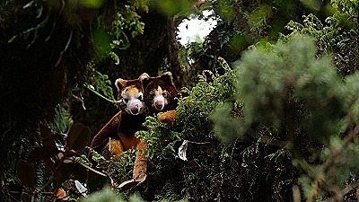 Critically endangered tree kangaroo (Jonathan Byers  TKCP)