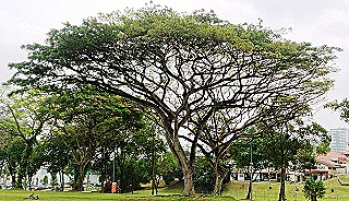 Mature raintree