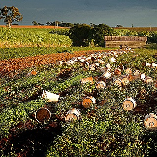 Buckets ready for the itinerant fruit pickers near Bundaberg  Queensland